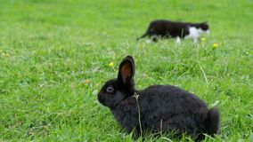 Black rabbit and a cat sitting on the green lawn in the Alpine mountains stock footage