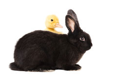 Black rabbit and duckling Stock Photography