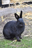 Black rabbit in a farm Stock Image