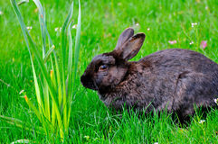 A black rabbit with flowers in a lawn Stock Photos