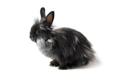 Black Rabbit Royalty Free Stock Image