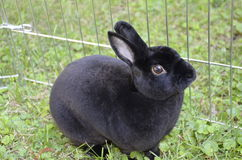 Black rabbit in the grass. A small cute black bunny rabbit sitting in the grass Stock Image