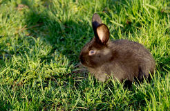 Black rabbit on the grass Royalty Free Stock Image