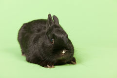 Black rabbit on green background Royalty Free Stock Photos