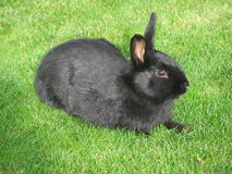 Black rabbit on a green grass Stock Photography