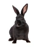 Black rabbit, isolated. Royalty Free Stock Photo