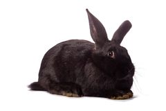 Black rabbit isolated on white Royalty Free Stock Photo