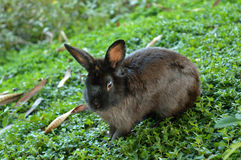 Black Rabbit looks at you. Black Rabbit in a green ground looks at the camera Royalty Free Stock Photo