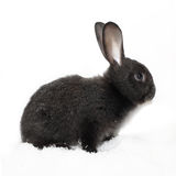 Black rabbit Royalty Free Stock Photos