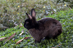 Black Rabbit in the park. Black Rabbit looking away in a park, surrounded by green Stock Photography