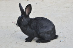 Black rabbit Stock Images