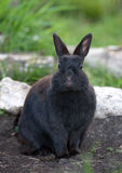 Black Rabbit Stock Photo