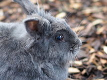 Grey Rabbit Royalty Free Stock Image