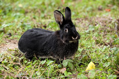 Black rabbit running in the forest. Royalty Free Stock Photography