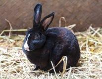 Black rabbit Royalty Free Stock Photo