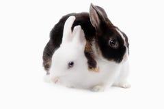 Black Rabbit on white background Royalty Free Stock Photos