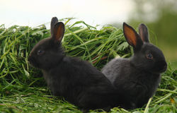 Black rabbits on green grass Royalty Free Stock Photography