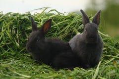 Black rabbits on green grass Royalty Free Stock Image