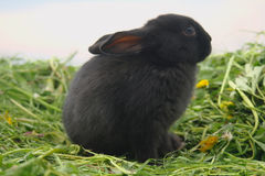 Black rabbits on green grass Stock Images
