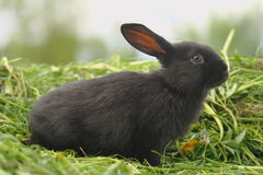 Black rabbits on green grass Royalty Free Stock Images