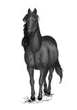Black race horse. Arabian mustang pacing Royalty Free Stock Images