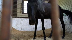 A black racehorse eats in the stables, a beautiful dark stallion. Young adult ungulate stock video footage