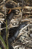Black Racer Royalty Free Stock Image