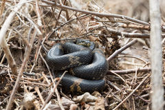 Black Racer Snake or Schrenck's rat snake Royalty Free Stock Photography