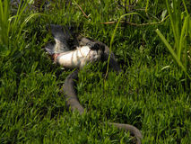 Black racer snake swallowing catfish Royalty Free Stock Photo