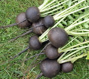 Black radish Stock Photo