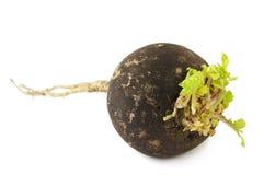 Black Radish. Isolated on white Royalty Free Stock Photo