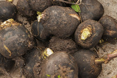 Black radish Royalty Free Stock Images