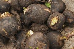 Black radish. Fresh black radish just taken from the ground Royalty Free Stock Images