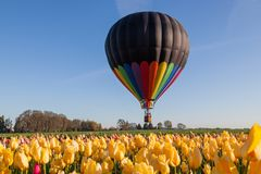 Balloon Above Tulip Fields. A black and rainbow hot air balloon floating in the early morning above a yellow tulip field. woodburn Oregon royalty free stock photos