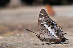 Black Rajah butterfly. Of thailand background Royalty Free Stock Photo