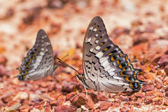 Black Rajah butterfly Royalty Free Stock Photography