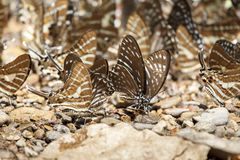 Black Rajah butterfly on the stone Royalty Free Stock Images