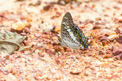 The black rajah butterfly Stock Photography