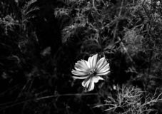 Beautiful of black and white flower head in garden outdoor at Chiang Mai,Thailand. stock photos