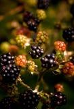 Black Raspberries Stock Photography