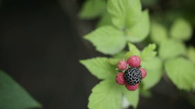 Black raspberries stock footage