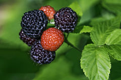 Black raspberries ready to pick in a home garden Royalty Free Stock Photography
