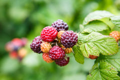 Black Raspberries (Rubus Occidentalis) Royalty Free Stock Photo