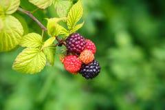 Black Raspberries (Rubus Occidentalis) Stock Photo