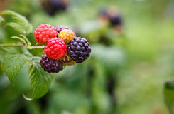 Black Raspberries (Rubus Occidentalis) Royalty Free Stock Images