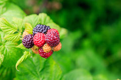 Black Raspberries (Rubus Occidentalis) Stock Photography