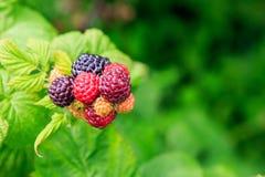 Black Raspberries (Rubus Occidentalis) Stock Photography