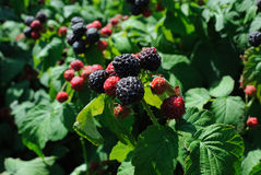 Black raspberry Stock Images