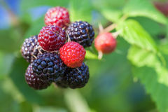 Black raspberry of berries ripening Royalty Free Stock Photo