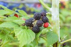 Black raspberry of berries ripening Royalty Free Stock Photos